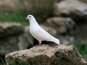 приснился белый голубь