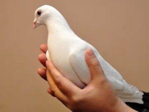 приснился голубь в руках