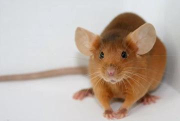 Приснилась рыжая крыса